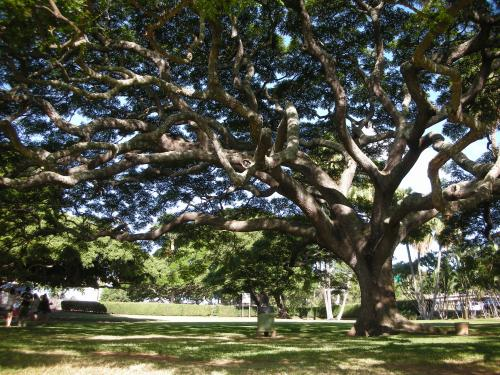 monkey pod / moanalua gardens 2