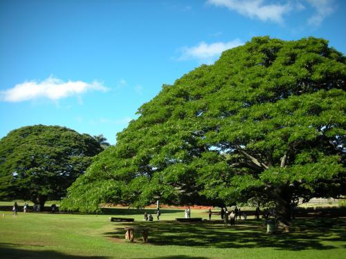 monkey pod / moanalua gardens 1